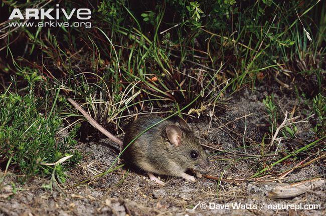 Sau khi biến mất cách đây hơn 1 thế kỉ, chuột New Holland đã được tìm thấy ở Công viên Quốc gia Ku-ring-gai Chase (Úc) năm 1967.