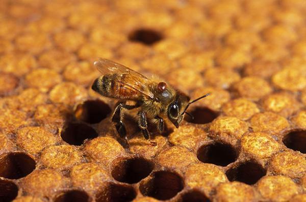Ong biết tự chữa bệnh