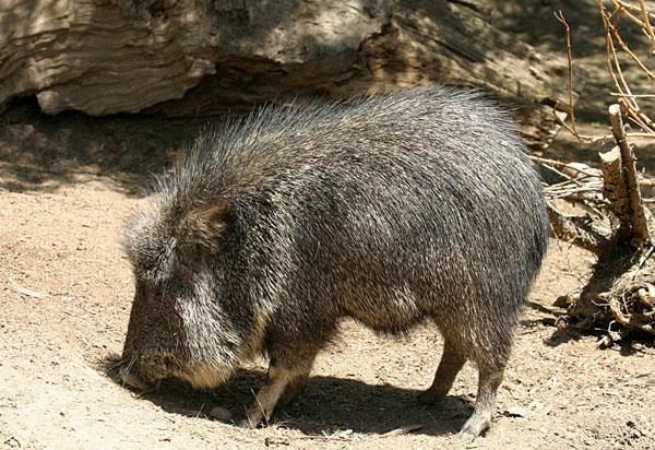 Những miêu tả về loài lợn cỏ Chaco năm 1930 hoàn toàn chỉ dựa vào mẫu hóa thạch, bởi các nhà khoa học cho rằng nó đã tuyệt chủng. Năm 1975, một cá thể thuộc loài này được phát hiện tại vùng Chaco (Paraguay). Tới nay theo thống kê loài này có khoảng 3.000 con và là loài lợn cỏ to nhất.