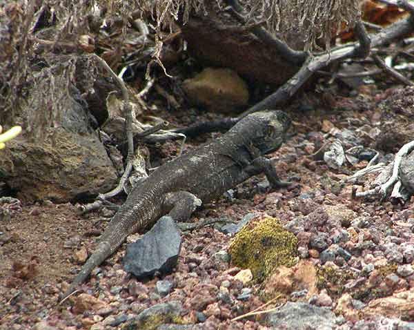 Một con thằn lằn khổng lồ La Palma 4 tuổi mới được tìm thấy năm 2007 tại quần đảo Canary (Tây Ban Nha). Trước đó, loài này được cho là đã tuyệt chủng cách đây khoảng 500 năm.