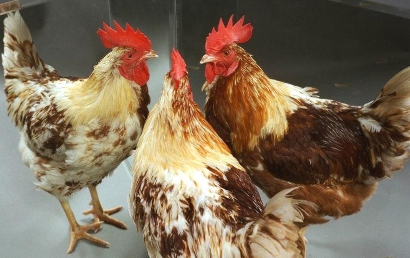 Hình dáng của một con gà nửa trống, nửa mái