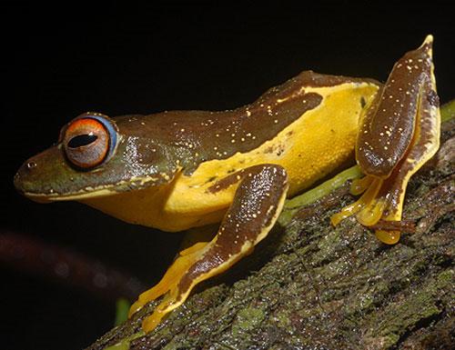 Cũng là một loài mới được phát hiện năm 2008 trên độ cao 2.200m ở Vườn quốc gia Chư Yang Sin và Khu bảo tồn thiên nhiên Hòn Bà. Loài ếch cây Chư Yang Sin Rhacophorus calcaneus với sắc màu tuyệt đẹp giữa hai màu vàng, nâu đậm, con ngươi mắt đen, đỏ, mí mắt màu xanh rất đặc trưng khiến cho bạn ngỡ ngàng trước sự pha trộn sắc mày tinh tế của tạo hoá.
