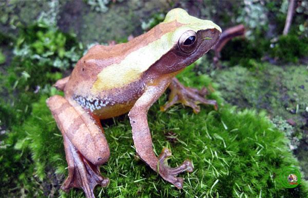 Năm 2001, hai nhà lưỡng cư học người Đức Ziegler và Kohler đã hát hiện ra loài ếch cây Orlovi Rhacophorus orlovi thuộc vùng Kỳ Anh, Hà Tĩnh. Đây là loài đặc hữu ở Việt Nam mặc dù có kích thước nhỏ, nhưng loài ếch cây này với sắc màu pha trộn giữa xanh, đen, trắng và nâu nhạt tạo nên một loài không thể so sánh trong thiên nhiên hoang dã Việt Nam.