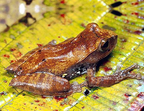 Thấp hơn một chút ở độ cao 2.400 - 2.500m là loài ếch cây Hoàng liên Rhacophorus hoanglienensis. Mãi đến năm 2001 các nhà nghiên cứu lưỡng cư của Việt Nam, Nga mới tìm thấy loài ếch cây này. Mặc dù chúng phân bố ở Vườn quốc gia Hoàng Liên nhưng rất khó ngay cả đối với những nhà nghiên cứu có cơ hội thu mẫu và chụp hình chúng trong tự nhiên hiện nay.