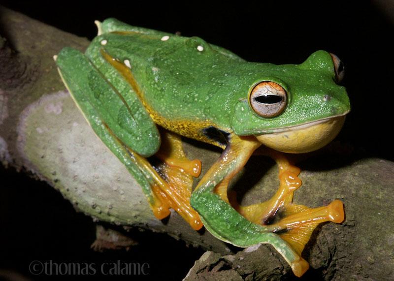 Rất giống với loài loài ếch cây xanh đốm, nhưng bụng có màu vàng và một chấm đen rõ nét ở nách của chân trước loài ếch cây kio Rhacophorus kio là những nét chấm phá diệu kỳ của tạo hoá ban tặng cho thiên nhiên Việt Nam. Loài này thưởng sống ở độ cao trung bình nơi có nhiều những dòng thác chảy và độ ẩm khá cao. Đôi khi ta có thể tìm thấy chúng ở các khu rừng phục hồi ở Việt Nam.