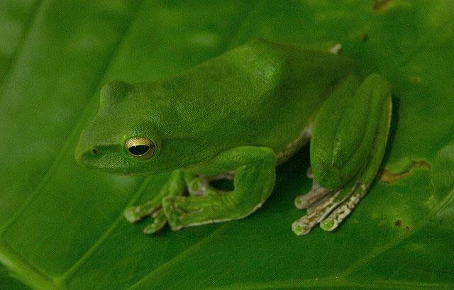 Loài ếch cây lớn Rhacophorus maximus trước đây chỉ ghi nhận ở Nepal, Ấn Độ, Trung Quốc và Thái Lan. Mãi đến năm 2008, các nhà khoa học Việt Nam mới ghi nhận sự có mặt của loài này ở vùng núi Yên Tử. Thân màu xanh lá cây với sọc trắng chạy dọc hai bên sườn và màu kem pha sắc dưới bụng và màng bơi. Loài ếch này cũng rất được ưa chuộng làm sinh vật cảnh.