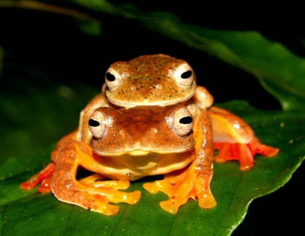 Đỏ rực như những những quả mọng chín trong rừng. Nếu lần đầu bạn nhìn thấy loài ếch cây màng bơi đỏ Rhacophorus rhodopus sẽ khiến bạn không khỏi giật mình. Trong đêm tối qua ánh đèn led càng khiến màu đỏ rực của chúng thêm phần hấp dẫn đối với cô nàng ếch cái chờ đợi đâu đó ở mốt nhánh cây khác.