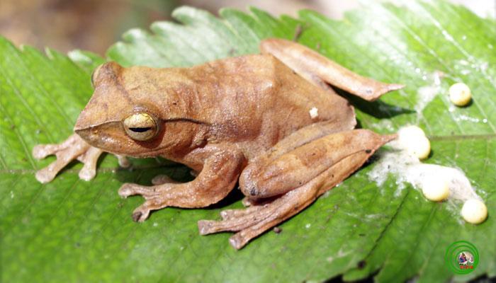 Loài được xem như là nhỏ nhất trong nhóm ếch cây ở Việt Nam này có hai cựa nhọn hoắt ở sau đùi cho nên chúng được các nhà khoa học đặt tên là ếch cây cựa Rhacophorus robertingeri. Chúng thích những nơi nhiều bóng râm đặc biệt là các khu rừng có nhiều suối nhỏ với lớp phủ thực vật rậm rạp gồm dương xỉ, cọ bị quấn nhiều dây leo và thực vật phụ sinh.
