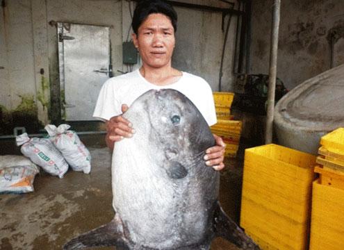 Cá quý hiếm mắc lưới ngư dân miền Trung