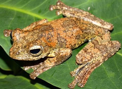 Đây có thể là loài ếch cây sống ở độ cao thấp nhất so với mặt nước biển ở Việt Nam. Loài ếch cây mép da mông mới được ghi nhận vùng phân bố thứ 2 ở Việt Nam, thuộc Khu bảo tồn thiên nhiên Vĩnh Cửu, tỉnh Đồng Nai.