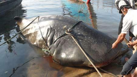 """Xác định được cá """"lạ"""" nặng 2 tấn ở Quảng Trị"""