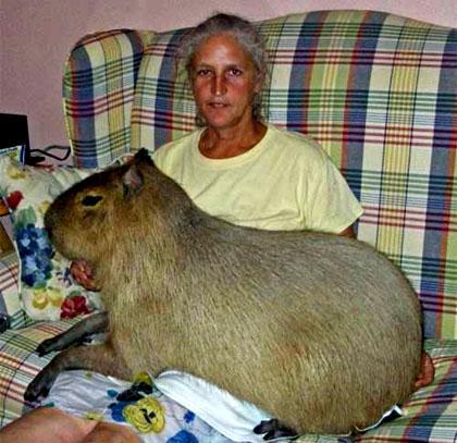 Chú chuột lang khổng lồ, nặng 105,4kg