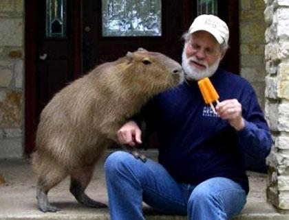 Nhiều nơi nuôi chuột lang làm thú cảnh