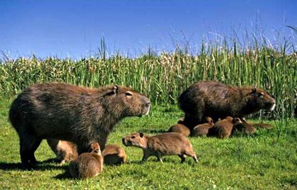 Gia đình chuột lang nước