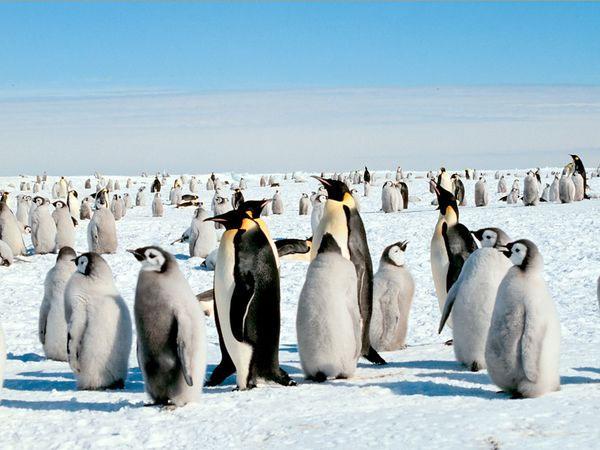 Chim cánh cụt hoàng đế Nam Cực nhiều gấp đôi