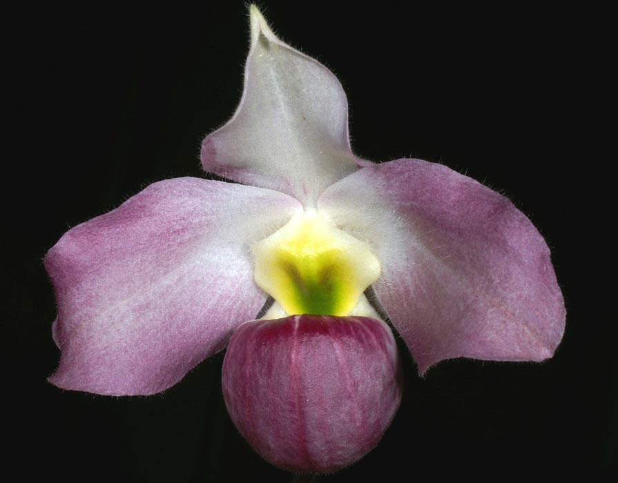 Vẻ đẹp của hoa phong lan Việt