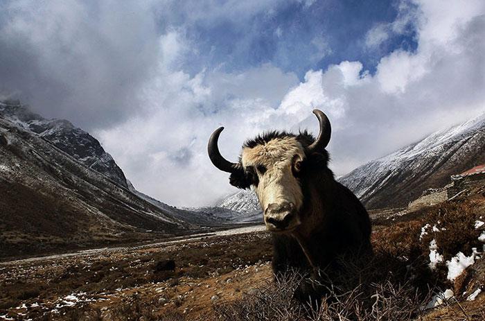 Một con bò Tây Tạng đang chuẩn bị được chuyển tới thung lũng Chumbu (Nepal), nơi cư ngụ chính của loài này, sau khi đội cứu hộ tìm thấy nó trên đường lên đỉnh Everest.
