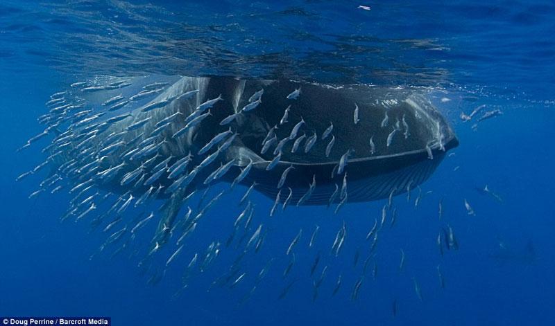 Cá voi Bryde thưởng thức bữa tối.