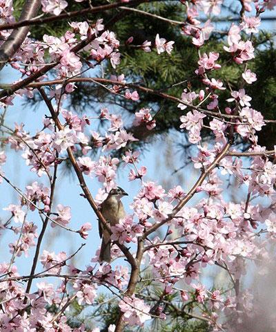 Chú chim nhỏ ngây ngất trước sắc hoa nở rộ tại công viên Nanshan, phía đông tỉnh Sơn Đông (Trung Quốc).