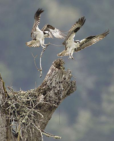 Đôi chim ưng biển thay nhau kiếm củi khô về xây tổ.