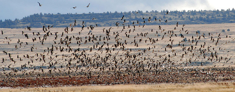 Một đàn ngỗng bắt đầu bay tản ra sau khi tập trung tại khu vực đầm lầy ở khu bảo tồn động vật hoang dã Lower Klamath (Mỹ).