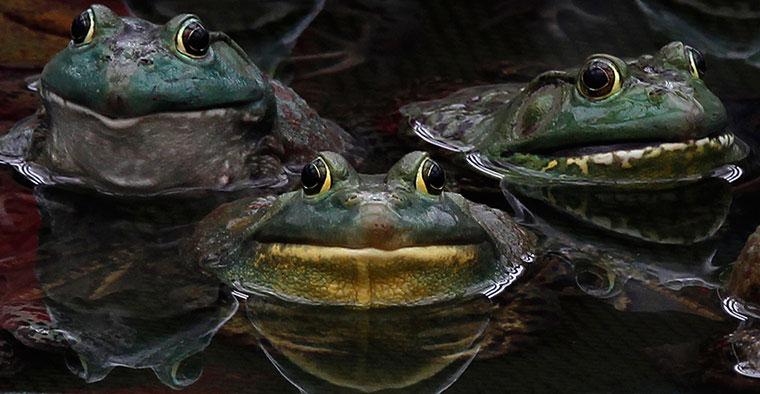 Ba con ếch tụ tập trong ao ở một xí nghiệp chăn nuôi ngoại ô thủ đô Bình Nhưỡng (Triều Tiên).