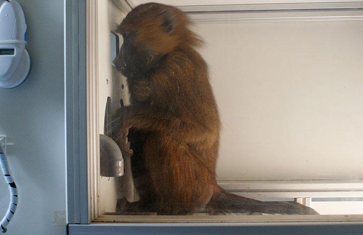 Một con khỉ đầu chó chăm chú nhìn vào màn hình máy vi tính, giải đố để được phần thưởng.