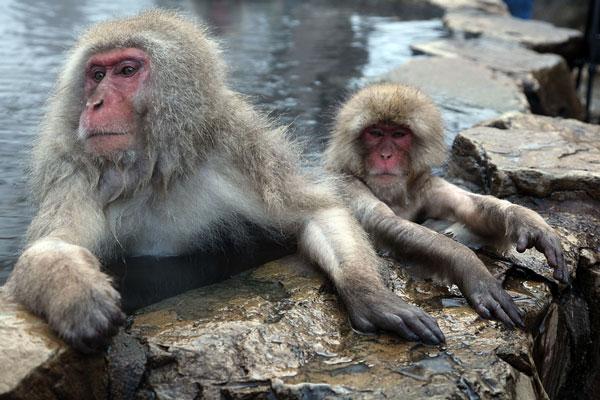Khỉ Macaque