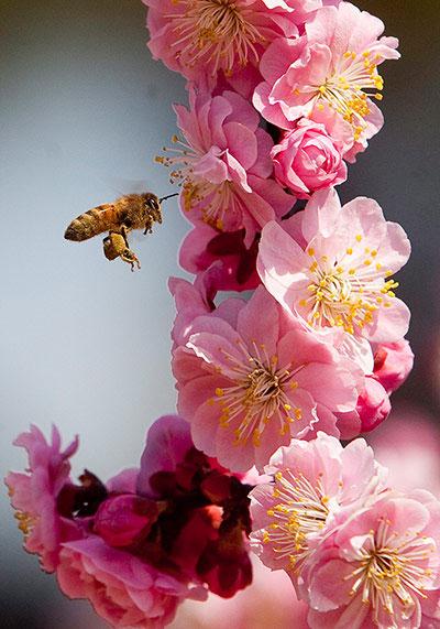 Tại một công viên ở Bắc Kinh (Trung Quốc), một chú ong nhỏ đang chăm chỉ lấy mật.