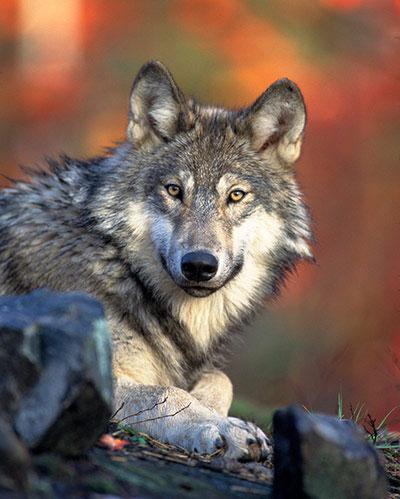 Chân dung của loài sói xám ở dãy núi Rocky, miền tây Bắc Mỹ. Gần đây, một loạt các bức ảnh của những con sói chết và bị thương được tung lên internet, làm dấy lên lo ngại về tình trạng tái diễn săn bắt trái phép những loài động vật quý.