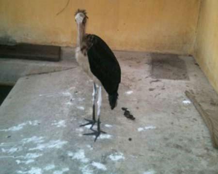 Cứu sống chim Già đẫy Java quý hiếm