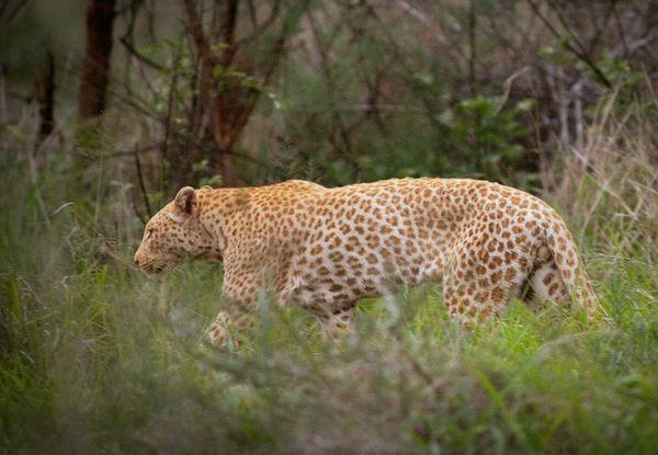Con báo có bộ lông màu hồng trong khu bảo tồn Madikwe của Nam Phi.