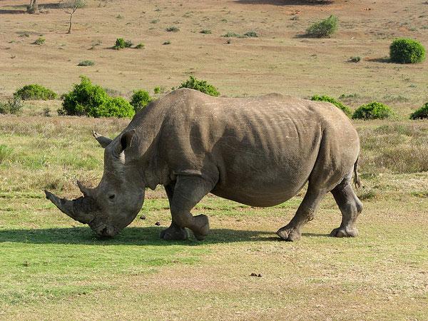 Nam Phi chống săn trộm tê giác bằng chip và DNA