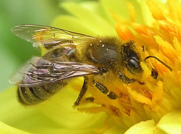 Ong mật giúp tìm cách phục hồi bệnh nhân hôn mê