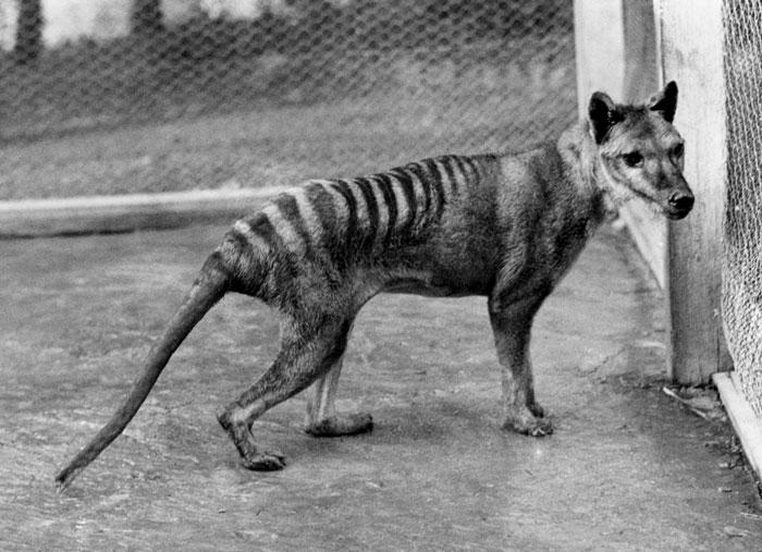 Hổ Tasmania tự tuyệt vong