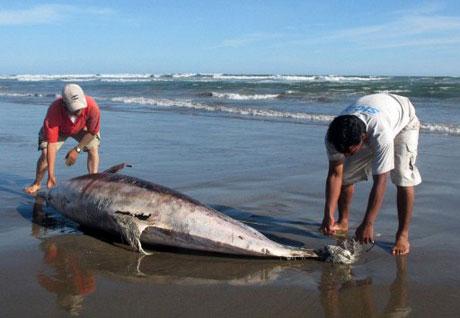 Hàng trăm cá heo chết bí ẩn tại Peru