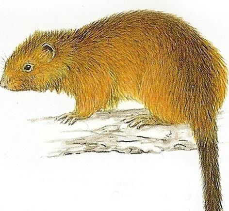 Phát hiện loài chuột tưởng đã tuyệt chủng