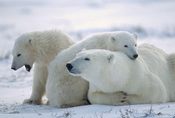 Gấu Bắc cực già hơn so với các công bố trước đây