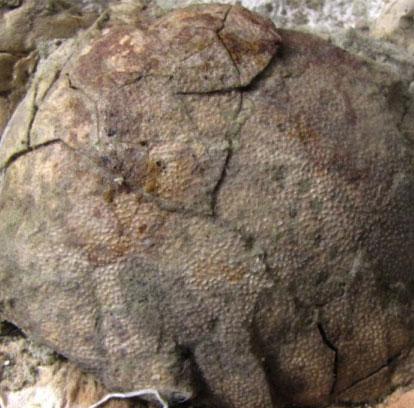 Phát hiện hóa thạch trứng khủng long tại Argentina