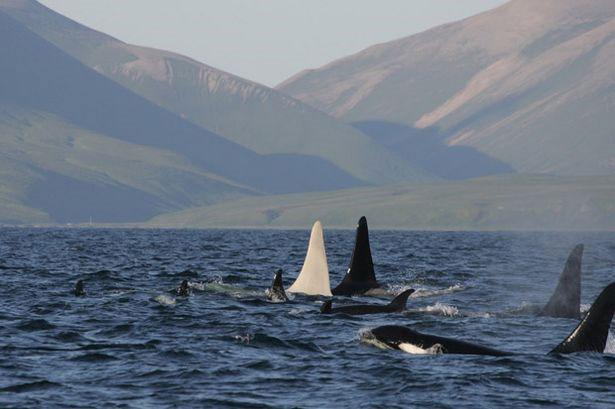 Lần đầu tiên phát hiện cá voi sát thủ trắng