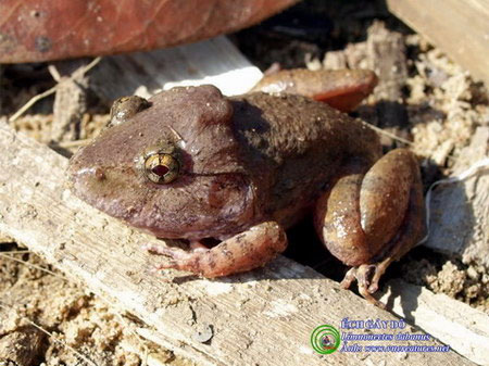 Loài ếch này nổi bật với cơ thể chắc mập và có mấu xương gáy lồi hẳn về phía sau. Đây chính là tàn tích của các loài lưỡng cư tồn tại từ thời khủng long.