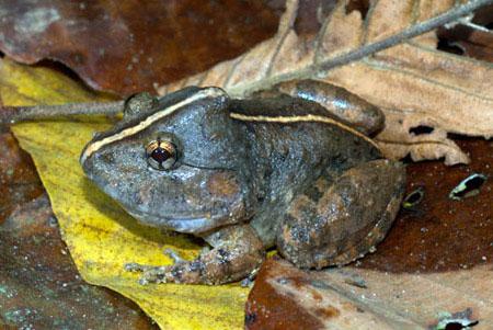 Chúng sống tại các vũng lầy hoặc ven các suối trong rừng trên núi đất thấp nằm ở độ cao 150-700m so với mực nước biển, nơi có những tảng đá mẹ nằm rải rác.