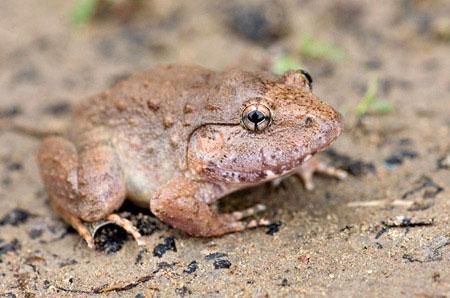Địa bàn phân bố chủ yếu của ếch gáy dô là Tây Nguyên và một số địa điểm ở miền Nam Việt Nam. Ngoài ra, một số cá thể của loài này được phát hiện tại Campuchia vào năm 1941.