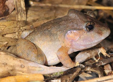 Bởi bậy, trong danh lục sách đỏ của IUCN (2007) loài ếch này được xếp ở bậc DD (thiếu dẫn liệu).