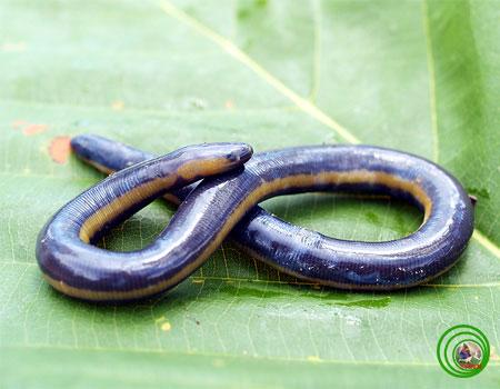 Cơ thể của loài ếch giun có hình giống giun đất song cỡ lớn hơn.