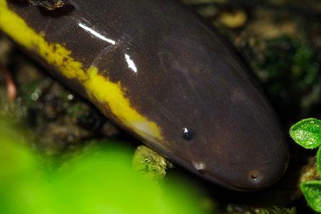 Đầu ếch giun nhỏ và hơi dẹp, mõm tương đối nhọn và có hàm rõ.