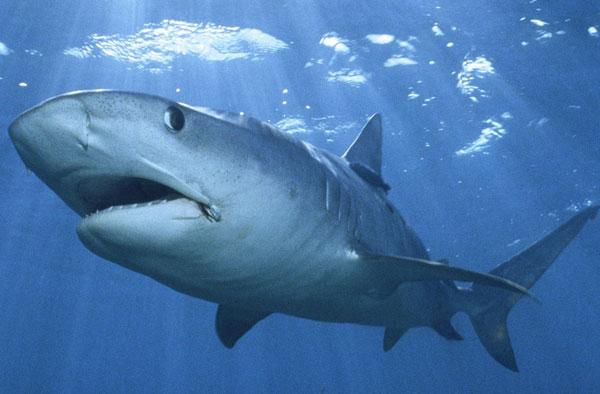 Số lượng cá mập sống ở dải đá ngầm tại TBD giảm