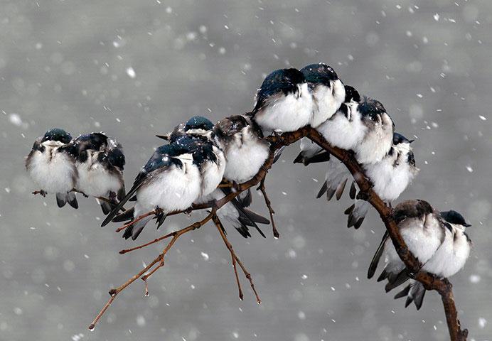 Ảnh đẹp trong tuần: Chim nhạn rúc vào nhau tránh rét