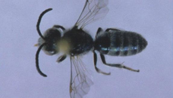 """Phát hiện loài ong """"liếm mồ hôi người để sống"""""""