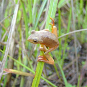 Kỳ lạ loài ếch Việt Nam bỗng dưng đổi màu khi giao phối